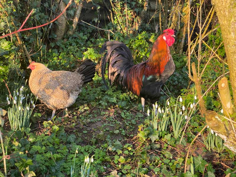 Chicken and cockerel in a garden surrounded by snowdrops