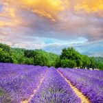 Bon weekend from a lavender field in France