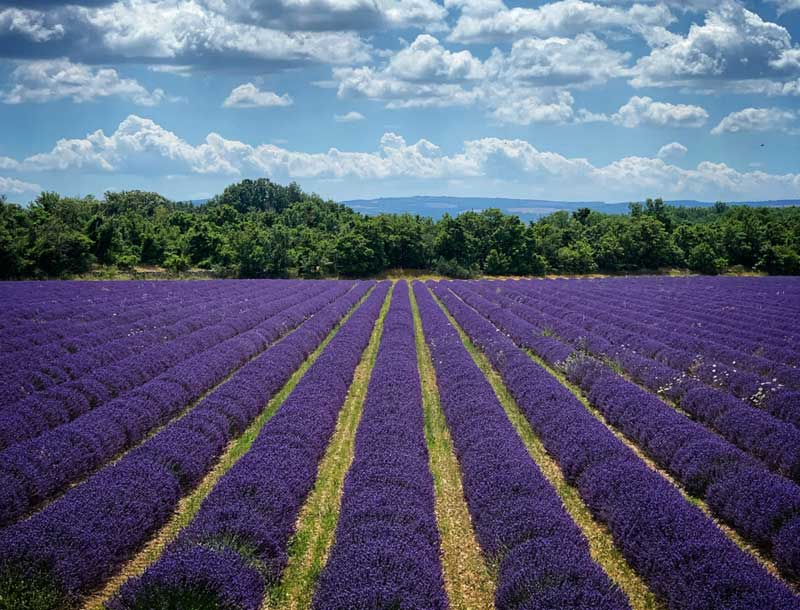 Lavender fields in full bloom in Provence under a sunny sky