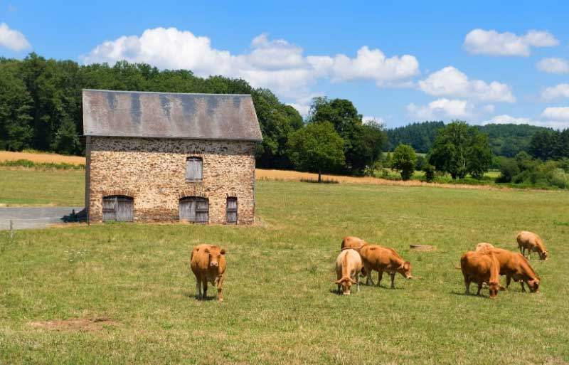 Cows in a field of verdant grass, forests in the distance, a tiny stone house in the background in Limousin
